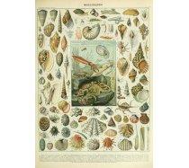 Grafika - 1000 darabos 00601 - Mollusques