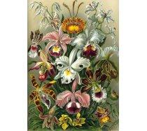 Grafika - 1000 darabos 00617 - Ernst Haeckel Collection - Orchidae