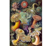 Grafika - 1000 darabos -00614 - Ernst Haeckel - Anémones de Mer, 1904